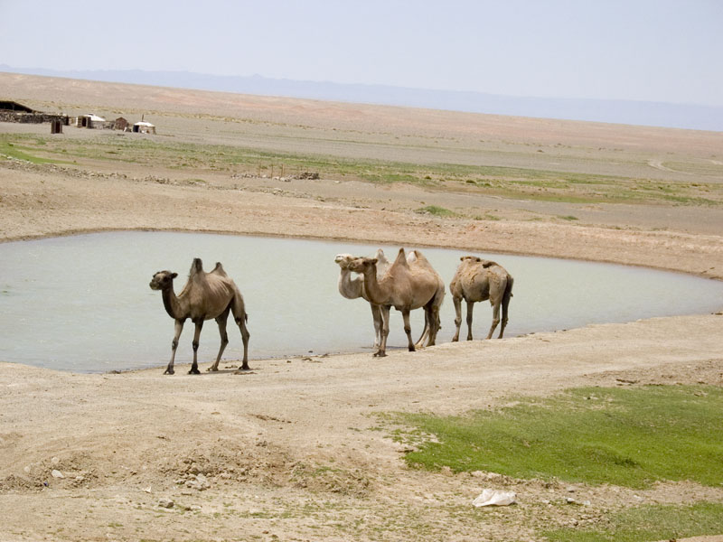 Anthropology, Mongolia and more... Livestock and a few ...